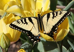 Tiger Swallowtail, female (Papilio glaucus) (AllHarts) Tags: nature memphistn dixongarden naturesfinest simplybeautiful top20butterflymoth thatslife freenature yourbestshot exquisitedetails butterflygallery flowersofallkinds excellentphotos alittlebeauty allkindsofmacroscloseups pogchallengewinnershalloffame whatistriveforinphotography superbmacroaward yellowyelloweverywhere earthnaturelife naturespotofgoldlevel2 tigerswallowtailfemalepapilioglaucus photoscalendarawards naturespotofgoldlevel1 flowerswhisperbeauty