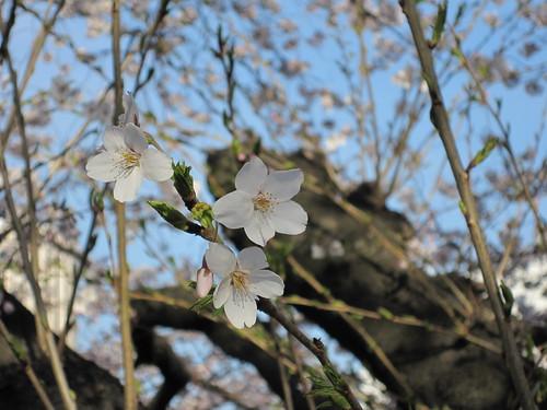 Sakura at Kudanshita