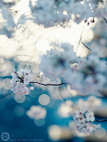 Hanami in Japan, 2011: Naka-meguro cherry-blossom