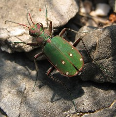 Green (gdasko) Tags: mountain green tiger beetle insects greece ymittos