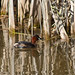 Little Grebe / Dabchick