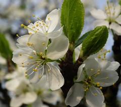 plum blossom - take 1 (ghisan) Tags: whiteflower blossom plumblossom whiteblossom victoriaplum jgblp