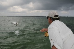 Catching a Tarpon on a Fly Rod Leaping Out of the Water (OrvisNews.com) Tags: fish water fly jump fishing flies tarpon leaping orvis
