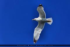 Ischia - Volare (Nel blu dipinto di blu) (Giorgio Di Iorio Photo) Tags: birds canon eos fly seagull uccelli ischia gabbiano 70200mm glide volare gioischia planare 5dmkii