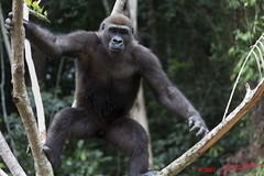 LEKEDI 5 Gorille Jeune 11E5K2IMG_67374wtmk (jeanlou) Tags: africa animal monkey gorilla mammals primate singe gabon gorille mammifere