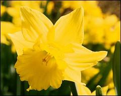 Daffodil (SomewhatNorth...) Tags: canada flower yellow spring pentax britishcolumbia victoria 35mmfilm daffodil icc rockland postprocessing governmenthouse digikamgimp somewhatnorth