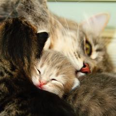 Sasha's Kittens (barbara.ann316) Tags: cats kittens siberian friendsofzeusphoebe vg~catsgallery