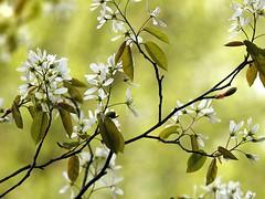 Tuin in het voorjaar. Garden in spring. (George Ino) Tags: flowers flower tree spring flora dof blossom bokeh kali depthoffield foliage fiore blte wit bloesem voorjaar  mygearandme