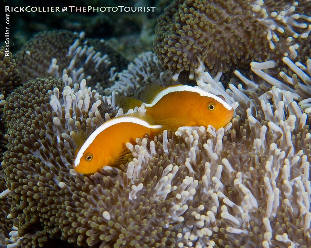 A pair of bright orange skunk anemonefish