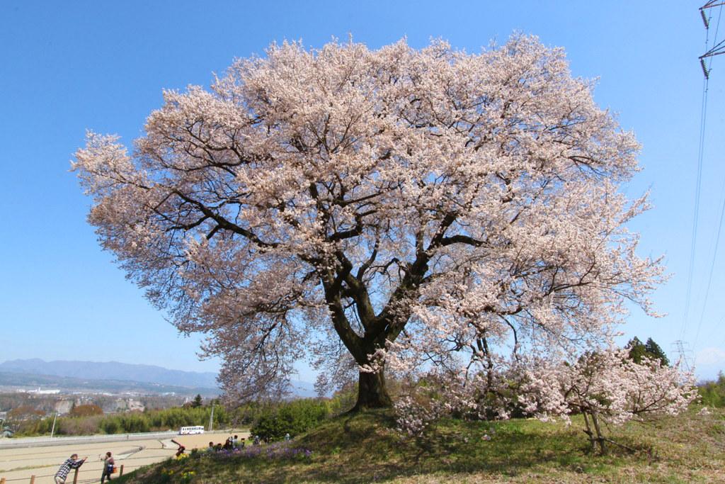 Sakura Photo 2011Wanizuka cherry blossom (7)
