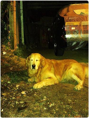 「找好心人」北市內湖路1段91巷,發現有項圈掛一個鈴鐺的黃金獵犬小姐~有住在附近的好心人~可以幫助牠嗎?謝謝您!20110419
