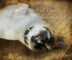 Roll Over Beethoven (martisimas) Tags: music dog pet cute texture animal tooth beethoven roll sheetmusic rollover tovi