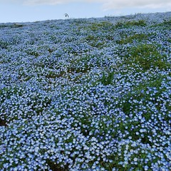 Nemophila Harmony(Explored) (shagzi23) Tags: japan g2   worldbest hitachiseasidepark gvario1442mm