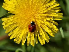 Ladybird on Yellow (saxonfenken) Tags: pregamewinner fromlatestpage insect ladybird dandelion yellow flower green friendlychallenge superhero yourock1st gamewinner pregameawarded hero winner thumbsup herowinner a3b bigmomma challengewinner challengefactory thechallengefactory 6990insect 6990 perpetual storybook
