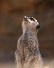 inquisitive (Brett Terry) Tags: meerkat brettterry