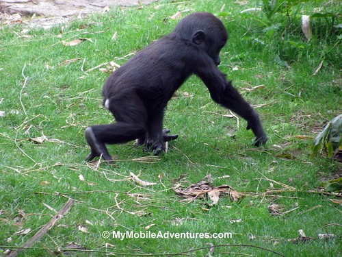 IMG_5316IMG_5316-WDW-DAK-baby-gorilla-striding