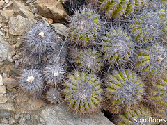 067-dia08-mix (Spiniflores) Tags: echinata coquimbana