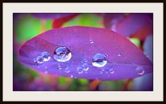 Water droplets on smoke bush leaf (pics by paula) Tags: green water canon one droplets leaf bush colours purple smoke powershot catchy g12