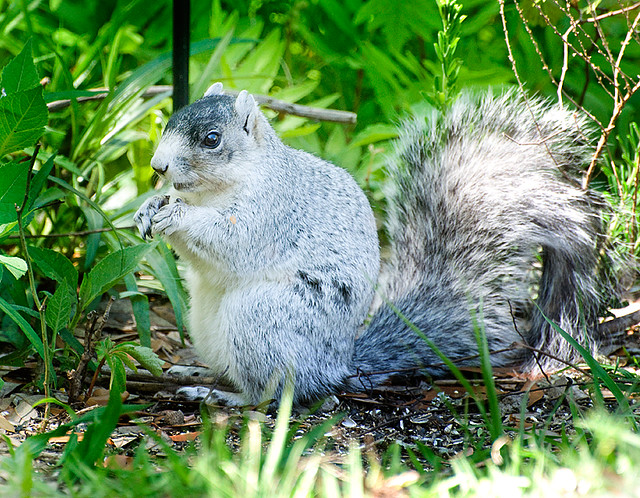 S. Carolina Fox Squirrel
