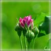 Tristesse....la première des roses [Rosa: Variegata di Bologna,Bonfiglioli; Ita; 1909] (dClaudio [homofugit]) Tags: flower green rose sadness spring nikon blossom bokeh tristesse d90 variegatadibologna faurè