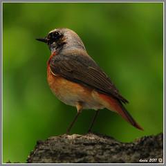 Codirosso (decio69) Tags: wild nature birds nikon natura uccelli birdwatching riccione decio d300 2011 codirosso sigma150500 galleryuccelli