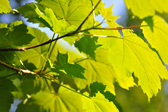 sycamore (Greg.w2) Tags: uk england english leaves woodland spring nikon sycamore april tres lush sunlit clough hurst 2011 d90 broadbottom