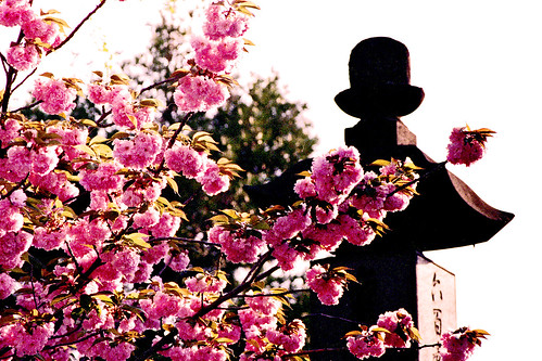 瑞輪寺の八重桜 III
