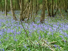 """Bluebells & mixed coppice • <a style=""""font-size:0.8em;"""" href=""""http://www.flickr.com/photos/61957374@N08/5679121899/"""" target=""""_blank"""">View on Flickr</a>"""
