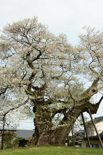 Big Cherry Tree (Edo-higan)