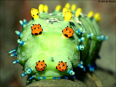 Cecropia Moth Caterpillar (mplonsky) Tags: moth caterpillar cecropia
