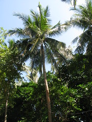 (sensesmaybenumbed) Tags: tree thailand island honeymoon palm phuket rachayaiisland kohrachayai