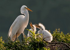 Happy Mother's Day! We're hungry! (daveinhst) Tags: backlight sunrise texas nest great chick hungry egret rookery 140 highisland supershot 050411 specanimal smithoaks mygearandme allnaturesparadise