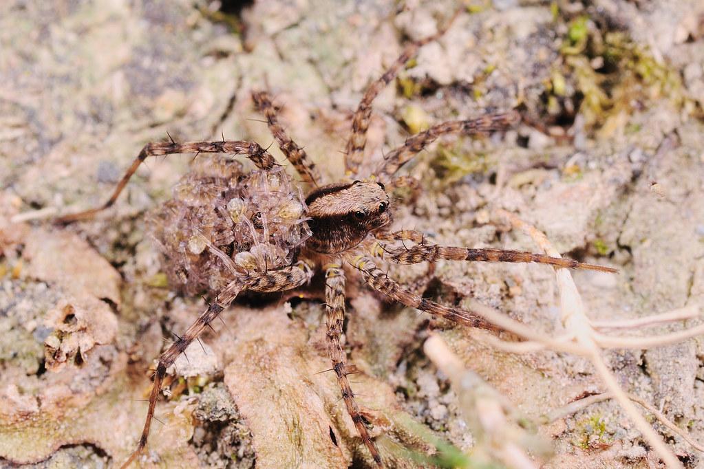 黑腹狼蛛 Lycosa coelestis