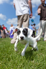 Jack Russell Terrier puppy (curtisWarwick) Tags: dog puppy jack university russell graduation terrier puppydog radford
