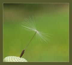 paardenbloem (Geziena) Tags: wild holland closeup groen wind olympus zomer gras e300 hommel geel veld weiland assen pluis stengel voorjaar paardenbloem blazen onkruid pluizen bloeien
