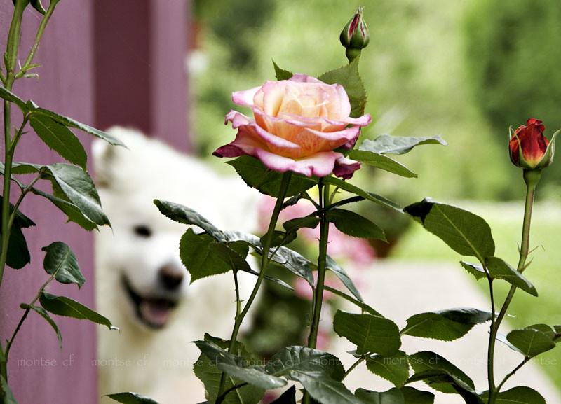 primeras rosas