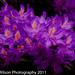 Rhododendron, Little Gaddesden