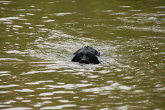 Jess, our black labrador, swimming in the canal.