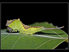 Cerura vinula (alfvet) Tags: macro nikon butterflies natura insetti d60 farfalle falene sigma150 parcodelticino bruchi macromarvels mygearandme mygearandmepremium mygearandmebronze mygearandmesilver mygearandmegold belitecaterpillarsandlarvaeb