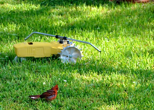 Cardinal bathing in sprinkler