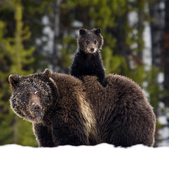 Grizzly and Cub (mwbishopde) Tags: bear wildlife yellowstone grizzly ynp bearcub