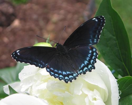Black Swallowtail on the Duchesse! by Leenechan