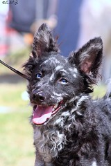 Striking eyes (AstridSofi) Tags: show blue dog black canon estonia blueeyes ears dogshow breed tamron merle tera koer mudi