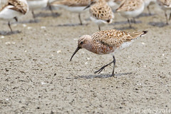 Curlew Sandpiper (phil.jeffrey) Tags: bird nature wildlife nj avian shorebird curlewsandpiper calidrisferruginea heislerville wwwcatharuscom