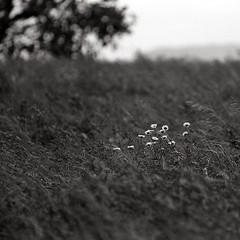 Wildflowers squared / fleurs au carr (mechanical shutter) Tags: flowers trees wild bw white black tree nature grass ed nikon long natural wind noiretblanc conservation windy line wildflowers 28 nikkor treeline f28 ai fm2 plusx 180mm fm2n