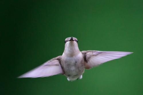Hummingbird DSC_6595
