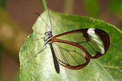 Greta Oto (klythawk) Tags: brown white black macro green nature closeup butterfly grey leaf dof olympus omd em1 60mmmacro tropicalbutterflyhouse glasswing gretaoto northanston klythawk