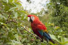 Rojo intenso sobre verde intenso. (www.rojoverdeyazul.es) Tags: bird peru del america amrica south parrot per sur autor alvaro bueno loro pjaro sudamrica suramrica