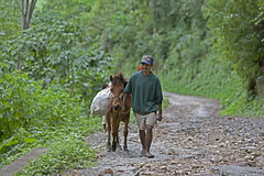 Man and mule 4980 (shahidul001) Tags: people man male easttimorese animal domestic donkey mule carry carrying load road mountainroad hill mountain trees plants life dailylife horizontal color colour easttimor southeastasia asia drik drikimages