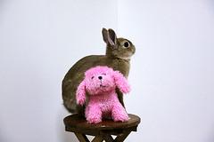 ICHIGO san 385 (mensore) Tags: rabbit bunny netherlanddwarf brown cute pet family ichigo